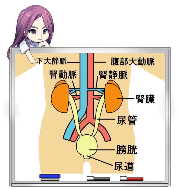 泌尿器科で扱う体の部分
