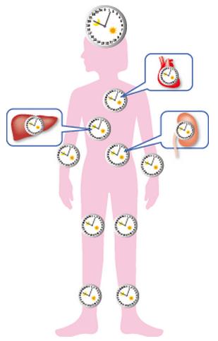 体内時計が刻む生体リズム
